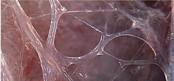 fascia in tecniche fluidiche osteopatia